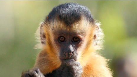 """Mono capuchino """"Sapajus libidinosus"""" de Brasil"""